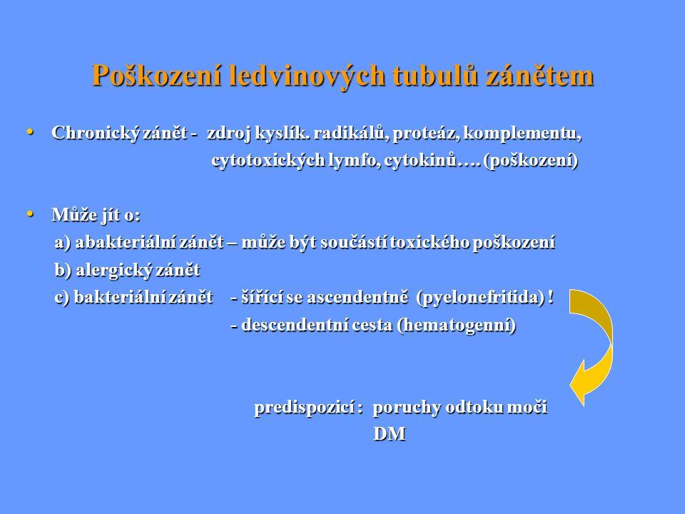 Poškození ledvinových tubulů zánětem Chronický zánět - zdroj kyslík. radikálů, proteáz, komplementu, Chronický zánět - zdroj kyslík. radikálů, proteáz