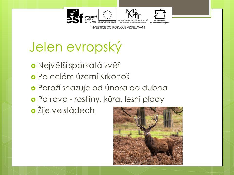 Jelen evropský  Největší spárkatá zvěř  Po celém území Krkonoš  Paroží shazuje od února do dubna  Potrava - rostliny, kůra, lesní plody  Žije ve stádech