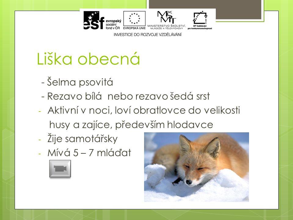Liška obecná - Šelma psovitá - Rezavo bílá nebo rezavo šedá srst - Aktivní v noci, loví obratlovce do velikosti husy a zajíce, především hlodavce - Žije samotářsky - Mívá 5 – 7 mláďat