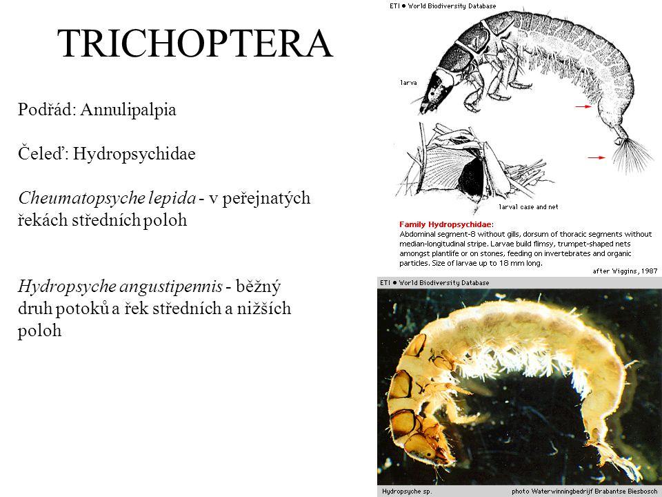 TRICHOPTERA Podřád: Annulipalpia Čeleď: Hydropsychidae Cheumatopsyche lepida - v peřejnatých řekách středních poloh Hydropsyche angustipennis - běžný