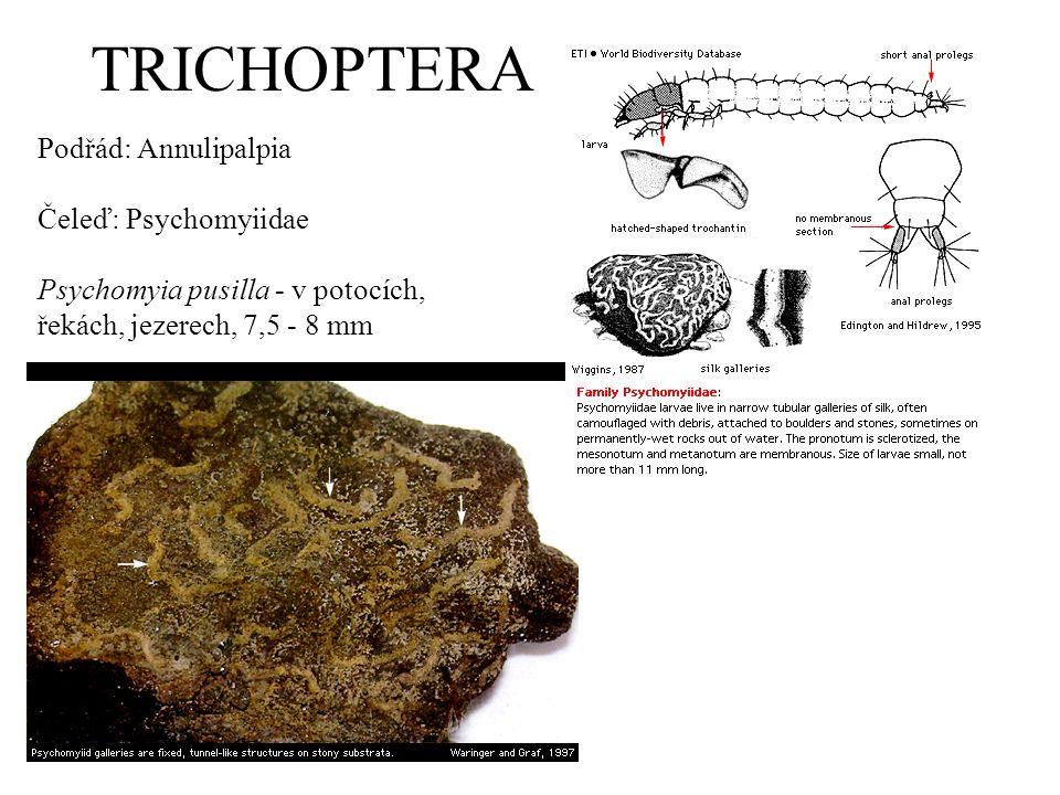 TRICHOPTERA Podřád: Annulipalpia Čeleď: Psychomyiidae Psychomyia pusilla - v potocích, řekách, jezerech, 7,5 - 8 mm