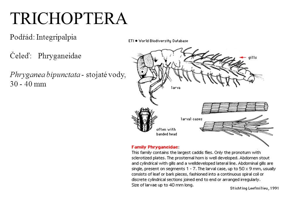 TRICHOPTERA Podřád: Integripalpia Čeleď: Phryganeidae Phryganea bipunctata - stojaté vody, 30 - 40 mm