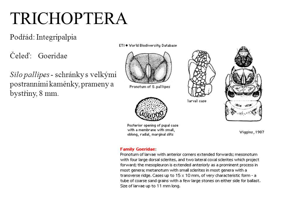 TRICHOPTERA Podřád: Integripalpia Čeleď: Goeridae Silo pallipes - schránky s velkými postranními kaménky, prameny a bystřiny, 8 mm.