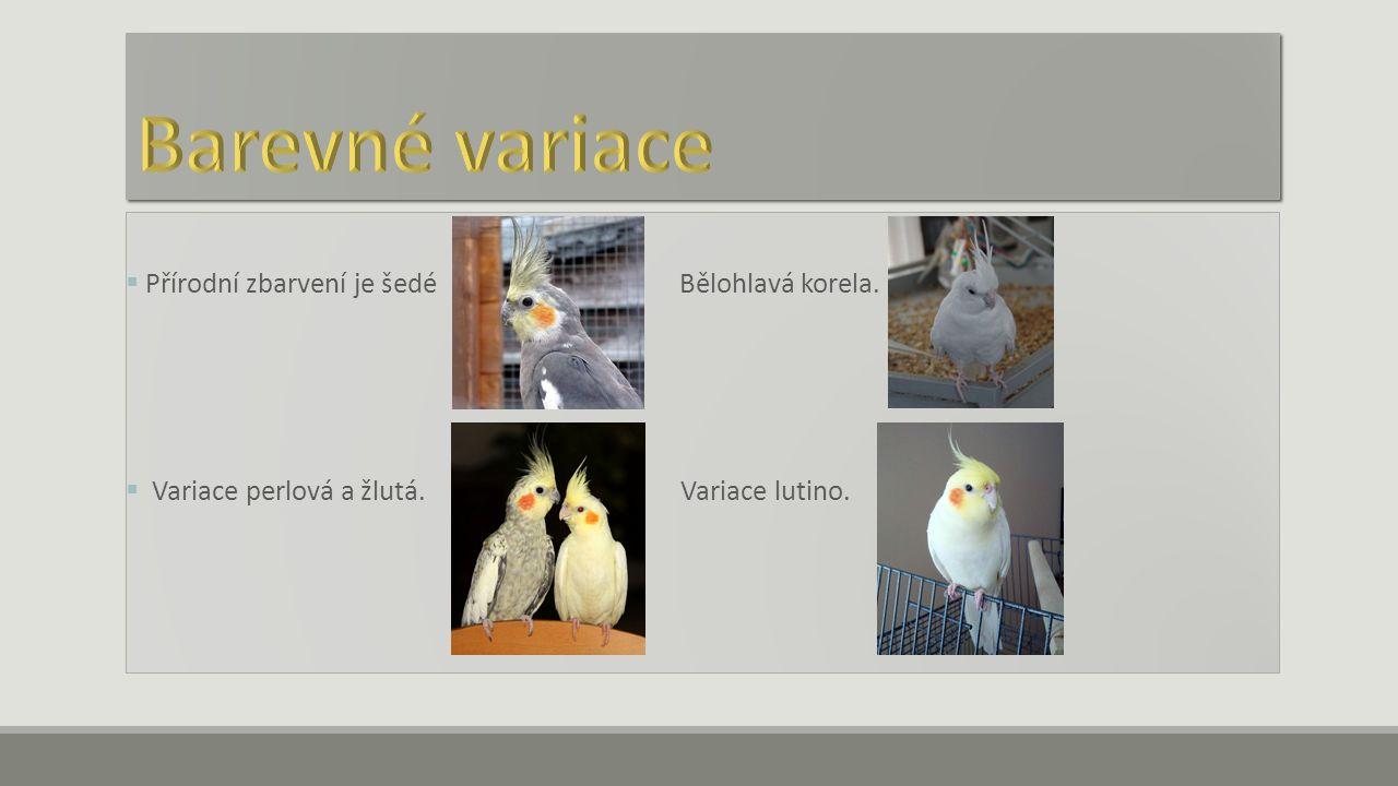  Přírodní zbarvení je šedé Bělohlavá korela.  Variace perlová a žlutá. Variace lutino.
