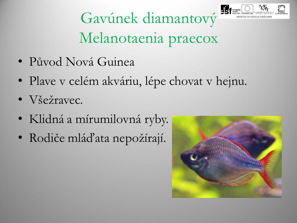 Gavúnek diamantový Melanotaenia praecox Původ Nová Guinea Plave v celém akváriu, lépe chovat v hejnu. Všežravec. Klidná a mírumilovná ryby. Rodiče mlá