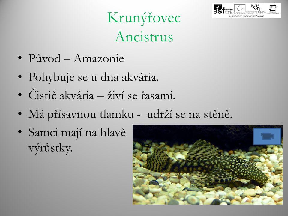Krunýřovec Ancistrus Původ – Amazonie Pohybuje se u dna akvária. Čistič akvária – živí se řasami. Má přísavnou tlamku - udrží se na stěně. Samci mají