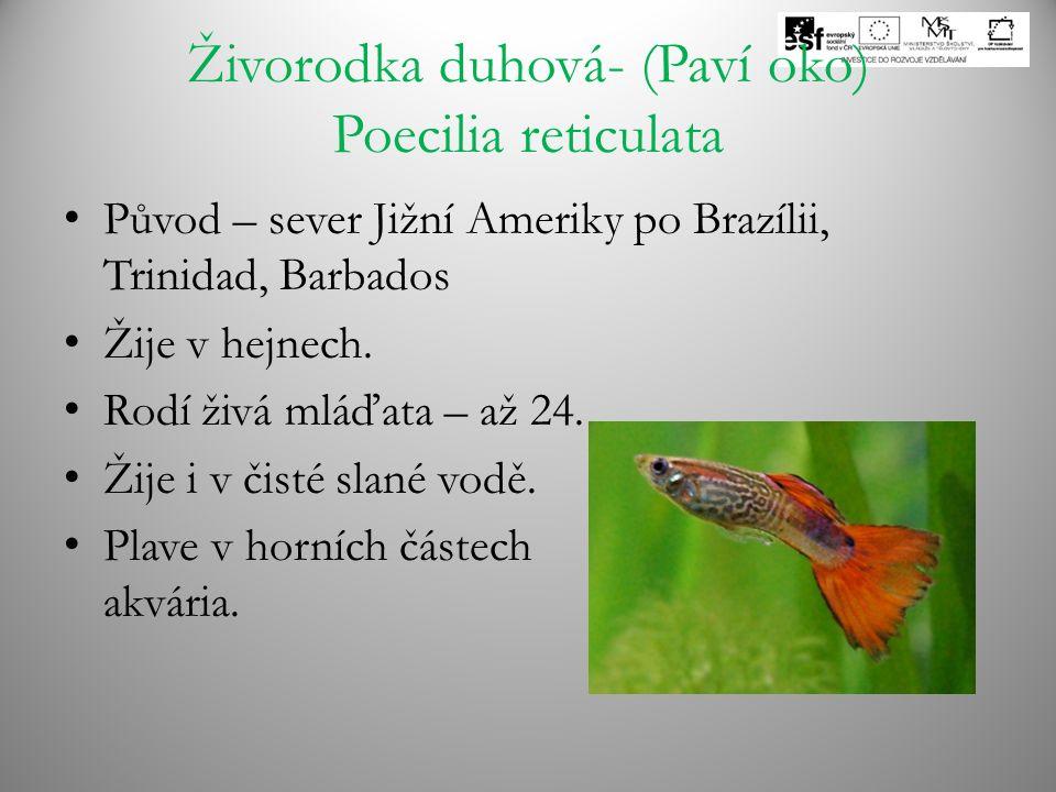 Živorodka duhová- (Paví oko) Poecilia reticulata Původ – sever Jižní Ameriky po Brazílii, Trinidad, Barbados Žije v hejnech. Rodí živá mláďata – až 24