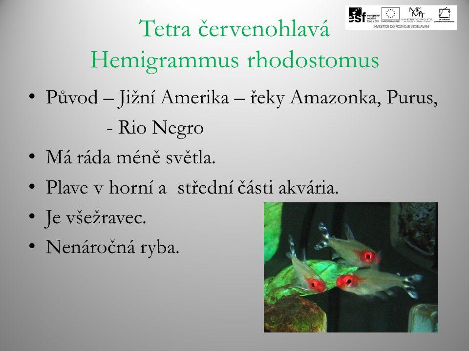 Tetra červenohlavá Hemigrammus rhodostomus Původ – Jižní Amerika – řeky Amazonka, Purus, - Rio Negro Má ráda méně světla. Plave v horní a střední část