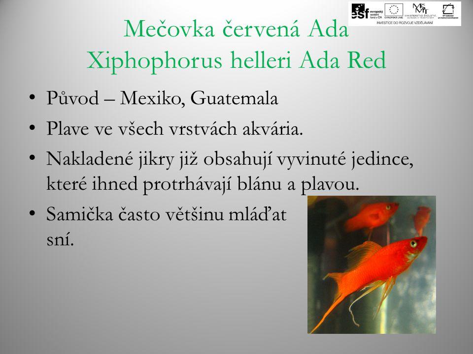 Mečovka červená Ada Xiphophorus helleri Ada Red Původ – Mexiko, Guatemala Plave ve všech vrstvách akvária. Nakladené jikry již obsahují vyvinuté jedin