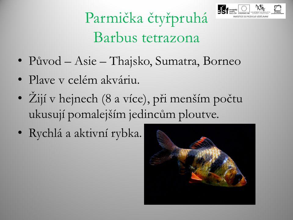 Parmička čtyřpruhá Barbus tetrazona Původ – Asie – Thajsko, Sumatra, Borneo Plave v celém akváriu. Žijí v hejnech (8 a více), při menším počtu ukusují