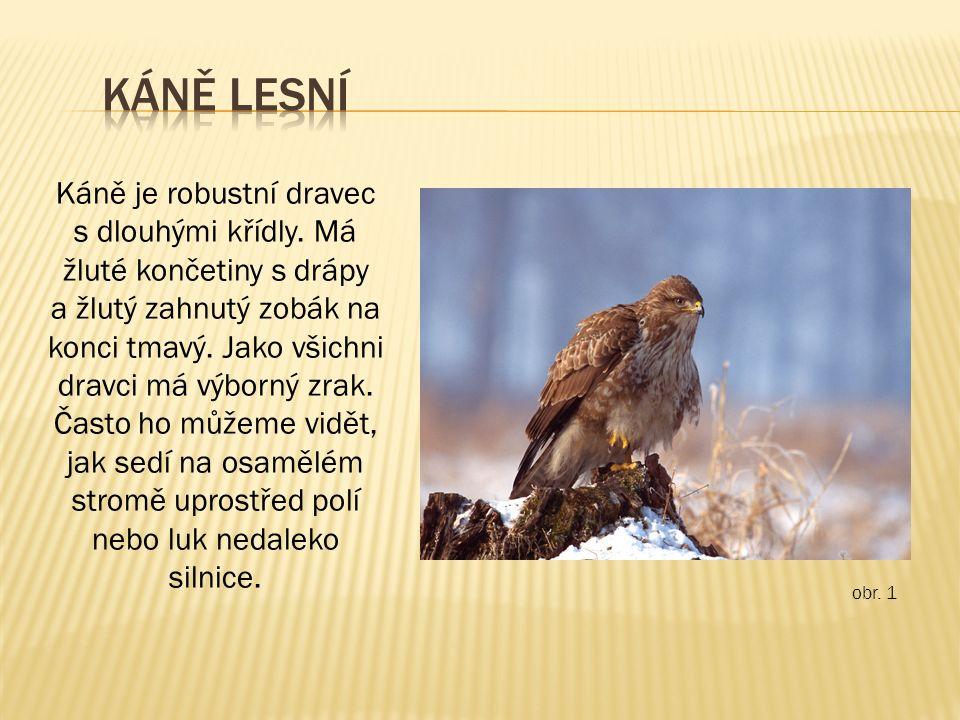 obr. 1 Káně je robustní dravec s dlouhými křídly. Má žluté končetiny s drápy a žlutý zahnutý zobák na konci tmavý. Jako všichni dravci má výborný zrak