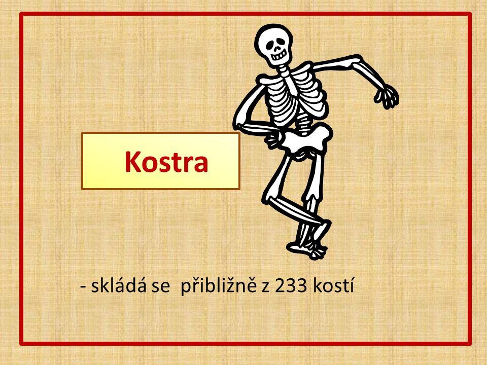 Stavba kostry -Chrání vnitřní orgány -Umožňuje spolu se svaly pohyb -Kosti jsou spojeny klouby, švy -V dlouhých kostech je kostní dřeň, kde se tvoří krvinky