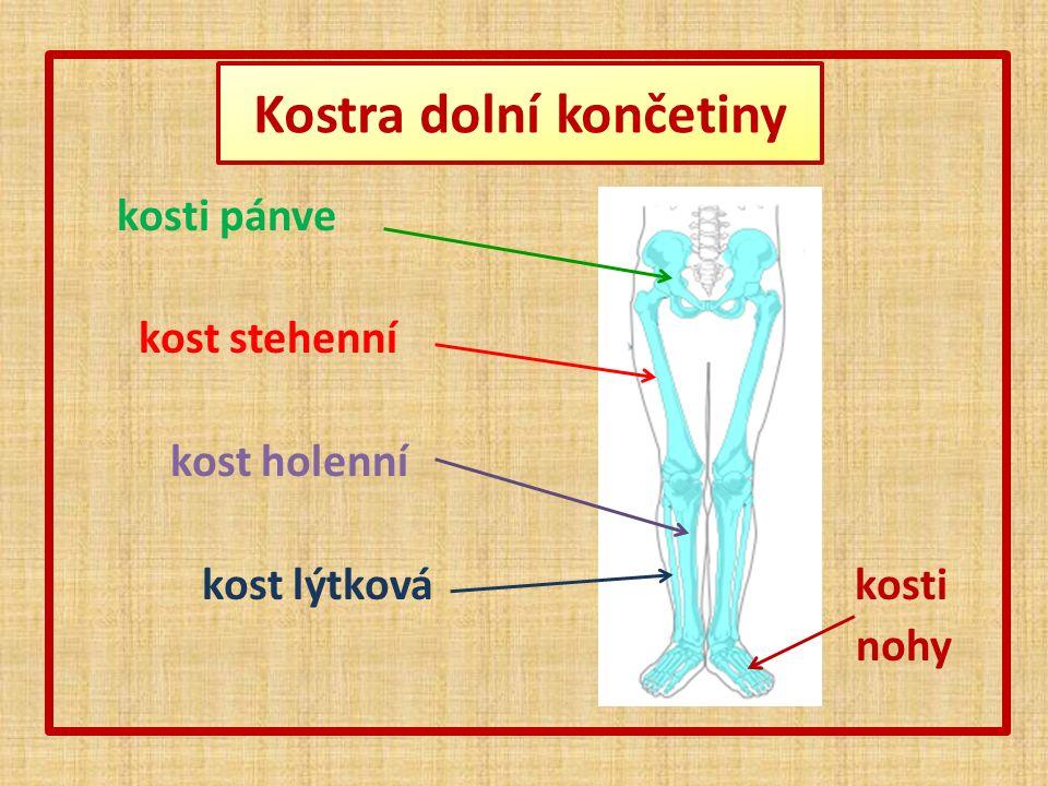 Kostra horní končetiny lopatka klíční kost kostra ruky kost pažní kostra předloktí
