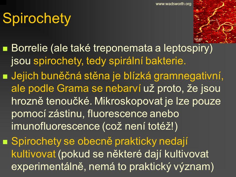Spirochety Borrelie (ale také treponemata a leptospiry) jsou spirochety, tedy spirální bakterie. Jejich buněčná stěna je blízká gramnegativní, ale pod