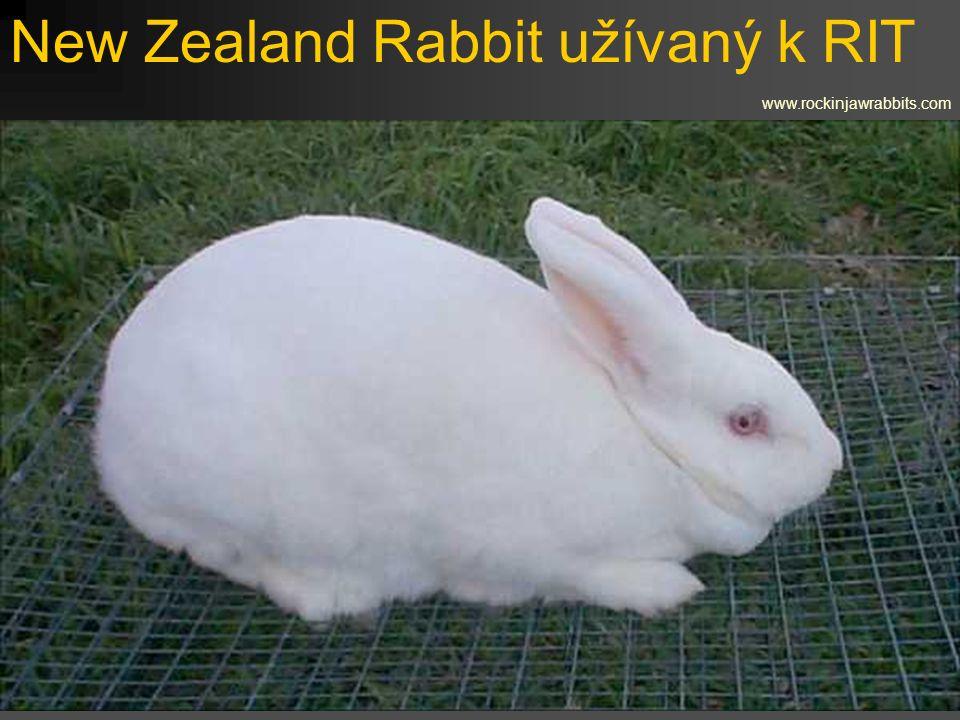 New Zealand Rabbit užívaný k RIT www.rockinjawrabbits.com