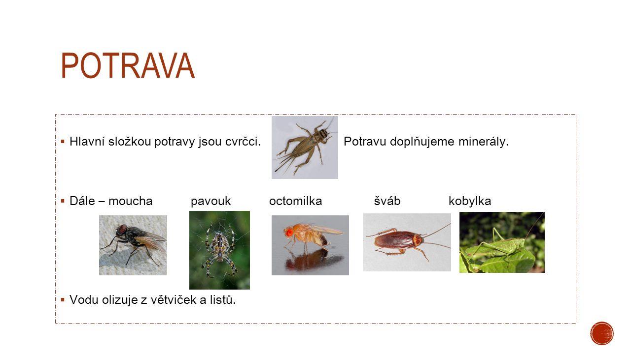 POTRAVA  Hlavní složkou potravy jsou cvrčci. Potravu doplňujeme minerály.  Dále – moucha pavouk octomilka šváb kobylka  Vodu olizuje z větviček a l