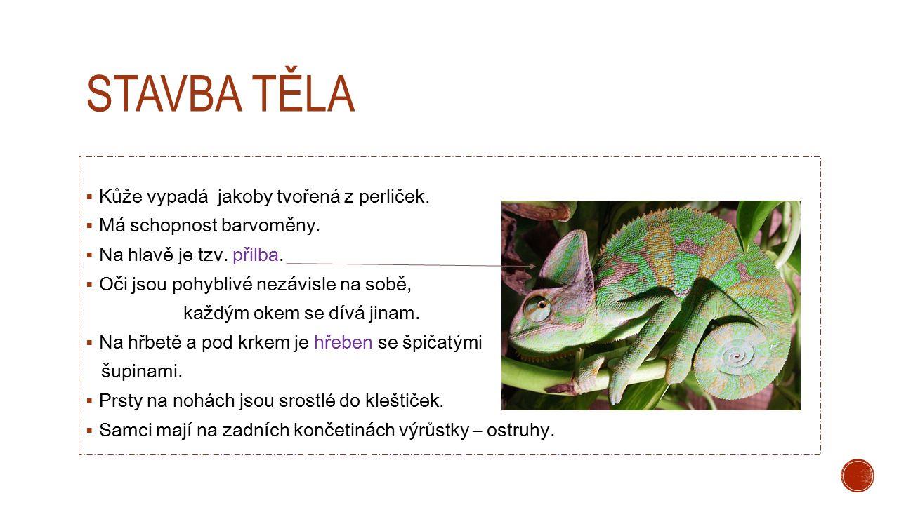 STAVBA TĚLA  Kůže vypadá jakoby tvořená z perliček.  Má schopnost barvoměny.  Na hlavě je tzv. přilba.  Oči jsou pohyblivé nezávisle na sobě, každ