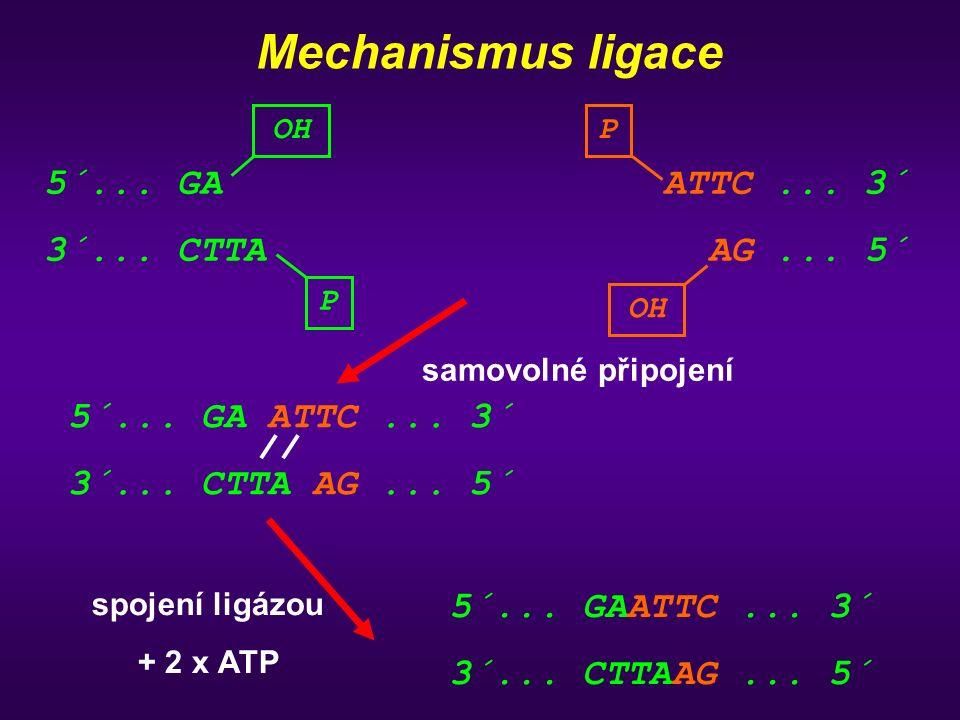 Mechanismus ligace 5´... GA 3´... CTTA ATTC... 3´ AG... 5´ samovolné připojení spojení ligázou + 2 x ATP 5´... GAATTC... 3´ 3´... CTTAAG... 5´ 5´... G