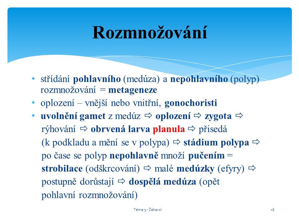 střídání pohlavního (medúza) a nepohlavního (polyp) rozmnožování = metageneze oplození – vnější nebo vnitřní, gonochoristi uvolnění gamet z medúz  op
