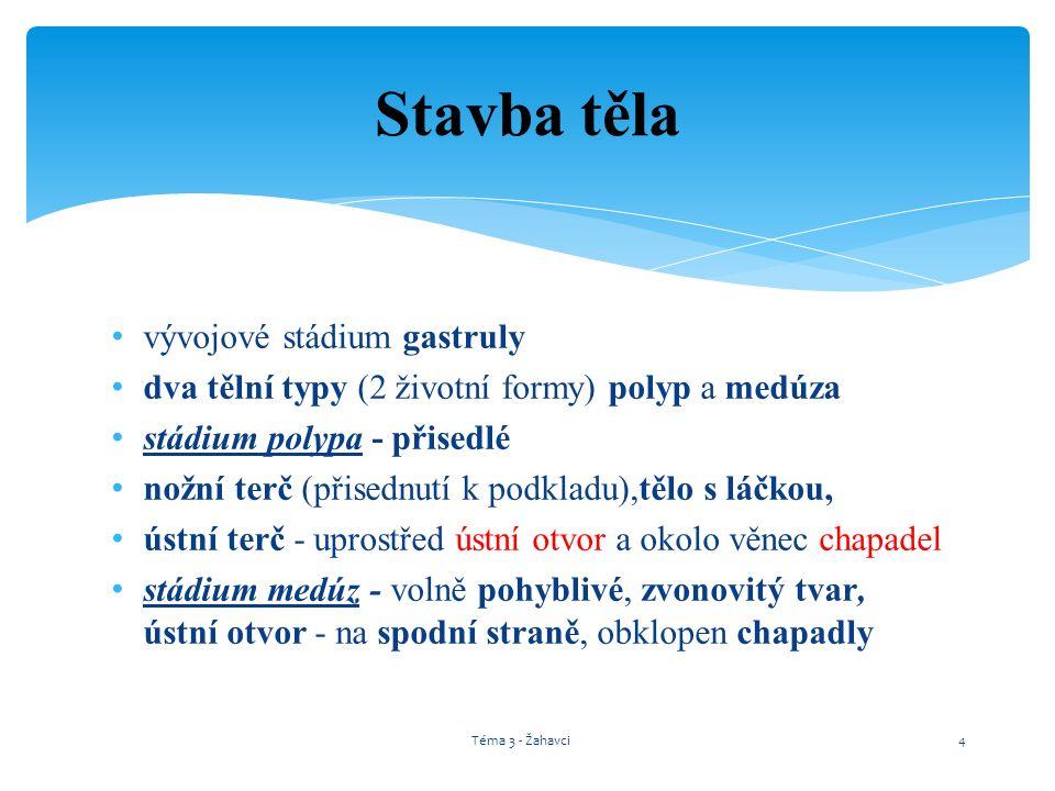 Stádium POLYPA Stádium MEDÚZY Téma 3 - Žahavci5
