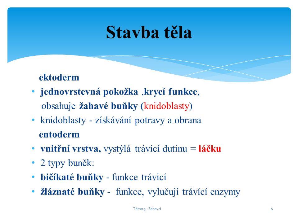 Sasanka plášťová a poustevníček mořský Téma 3 - Žahavci27