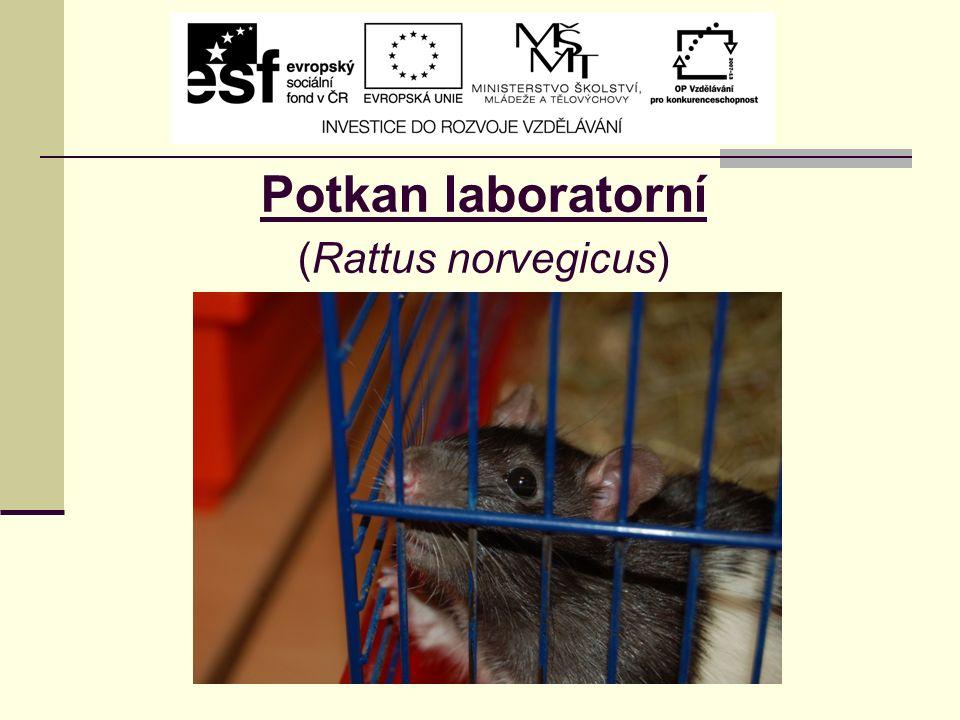 Potkan laboratorní (Rattus norvegicus)