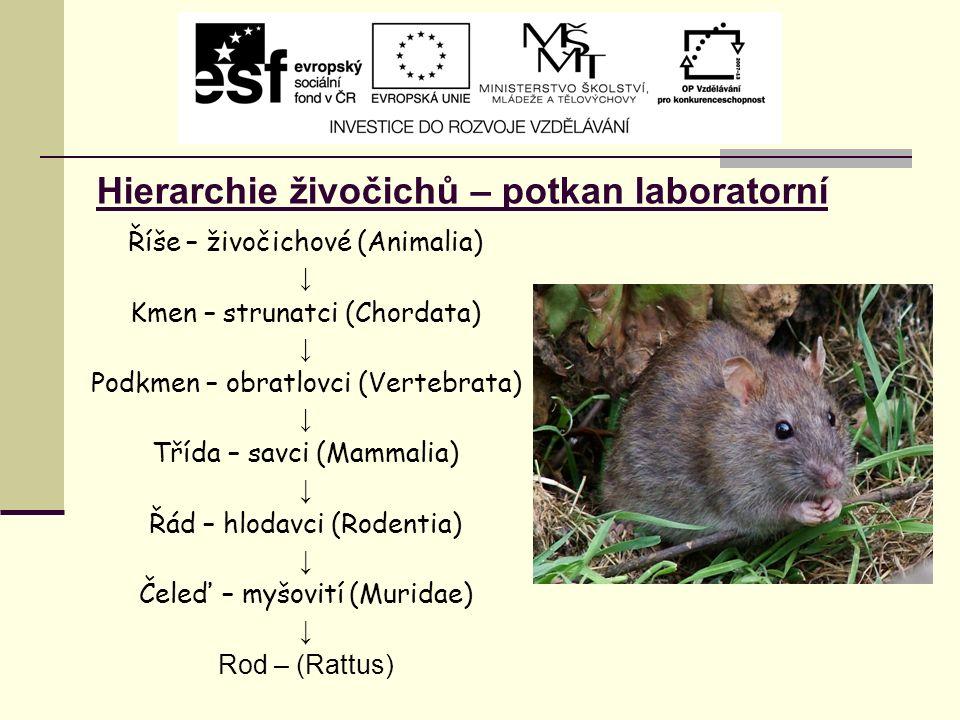 Hierarchie živočichů – potkan laboratorní Říše – živočichové (Animalia) ↓ Kmen – strunatci (Chordata) ↓ Podkmen – obratlovci (Vertebrata) ↓ Třída – savci (Mammalia) ↓ Řád – hlodavci (Rodentia) ↓ Čeleď – myšovití (Muridae) ↓ Rod – (Rattus)
