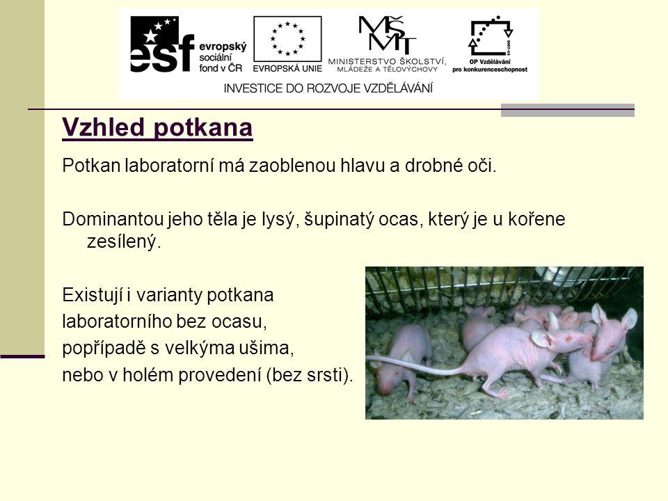 Vzhled potkana Potkan laboratorní má zaoblenou hlavu a drobné oči.