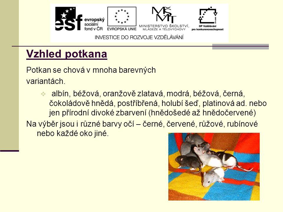 Vzhled potkana Potkan se chová v mnoha barevných variantách.  albín, béžová, oranžově zlatavá, modrá, béžová, černá, čokoládově hnědá, postříbřená, h