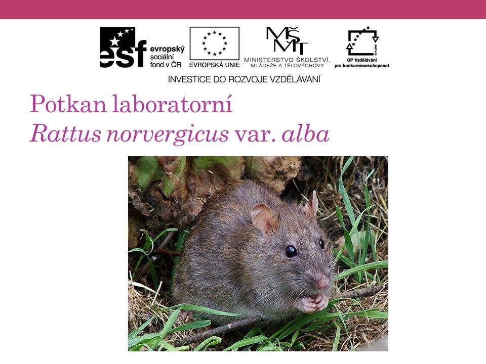 Potkan laboratorní Rattus norvergicus var. alba
