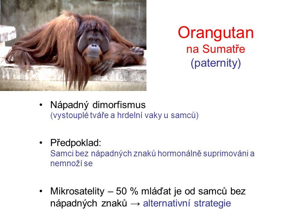 Orangutan na Sumatře (paternity) Nápadný dimorfismus (vystouplé tváře a hrdelní vaky u samců) Předpoklad: Samci bez nápadných znaků hormonálně suprimováni a nemnoží se Mikrosatelity – 50 % mláďat je od samců bez nápadných znaků → alternativní strategie