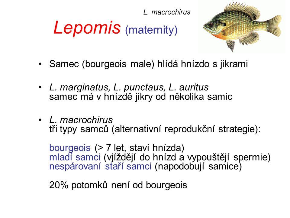 Lepomis (maternity) Samec (bourgeois male) hlídá hnízdo s jikrami L.
