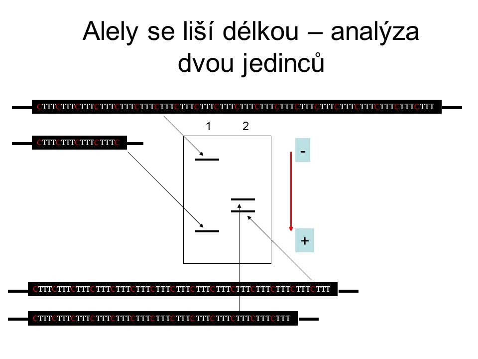 Příklad analýzy jednoho lokusu – fragmentační analýza PCR produktů (kodominantní markery = jednoduchá mendelovská dědičnost) Genotyp (bp) Matka: 125/131 Otec: 131/134 Potomek 1: 125/134 Potomek 2: 131/137 Sledovaný otec mohl zplodit potomka 1, ale zcela jistě není otcem potomka 2 + - ?