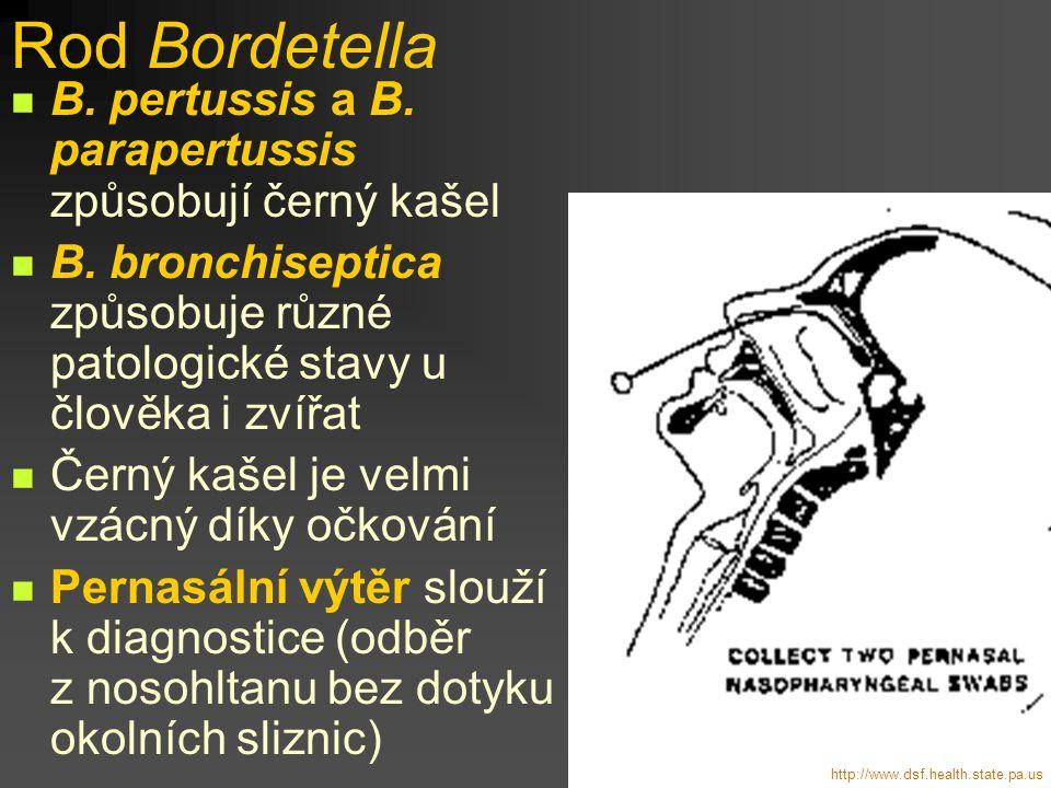 Rod Bordetella B. pertussis a B. parapertussis způsobují černý kašel B. bronchiseptica způsobuje různé patologické stavy u člověka i zvířat Černý kaše
