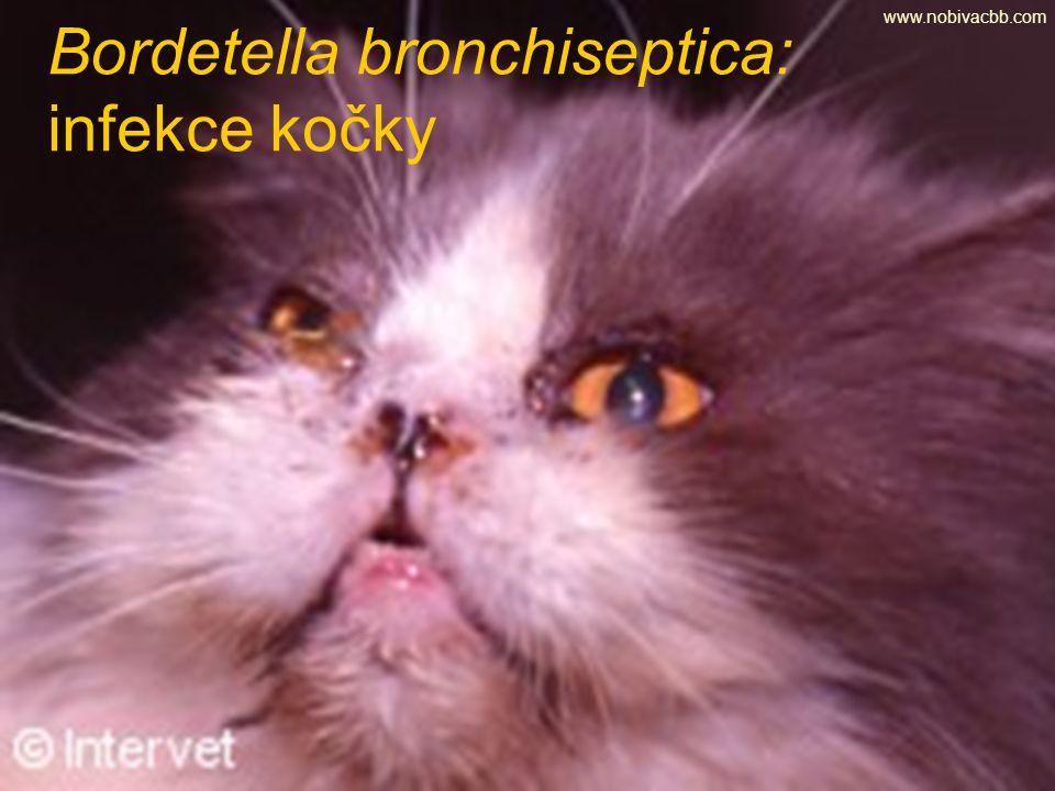 Bordetella bronchiseptica: infekce kočky www.nobivacbb.com