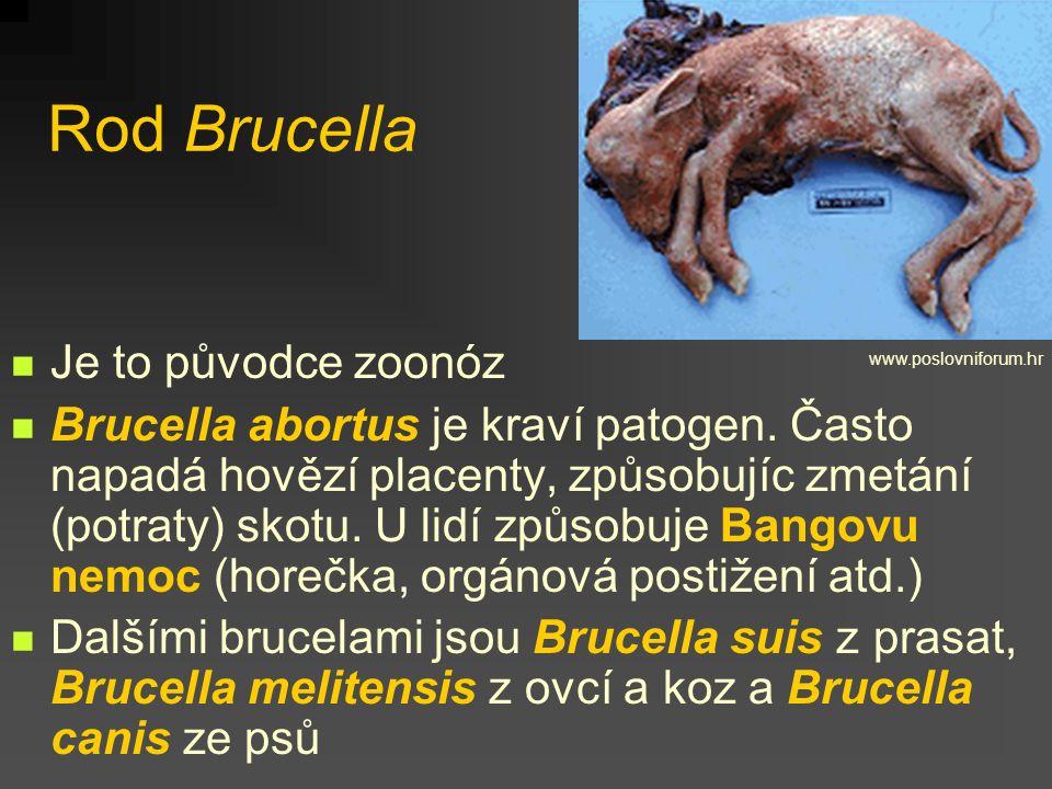 Rod Brucella Je to původce zoonóz Brucella abortus je kraví patogen. Často napadá hovězí placenty, způsobujíc zmetání (potraty) skotu. U lidí způsobuj