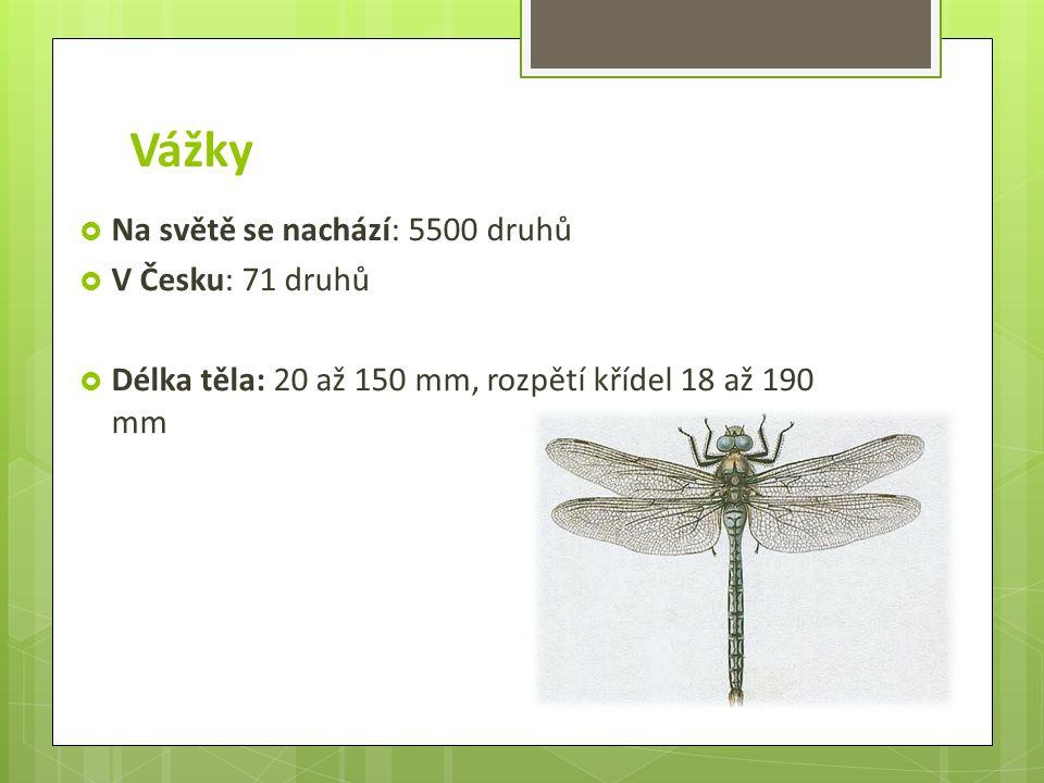 Vážky  Na světě se nachází: 5500 druhů  V Česku: 71 druhů  Délka těla: 20 až 150 mm, rozpětí křídel 18 až 190 mm