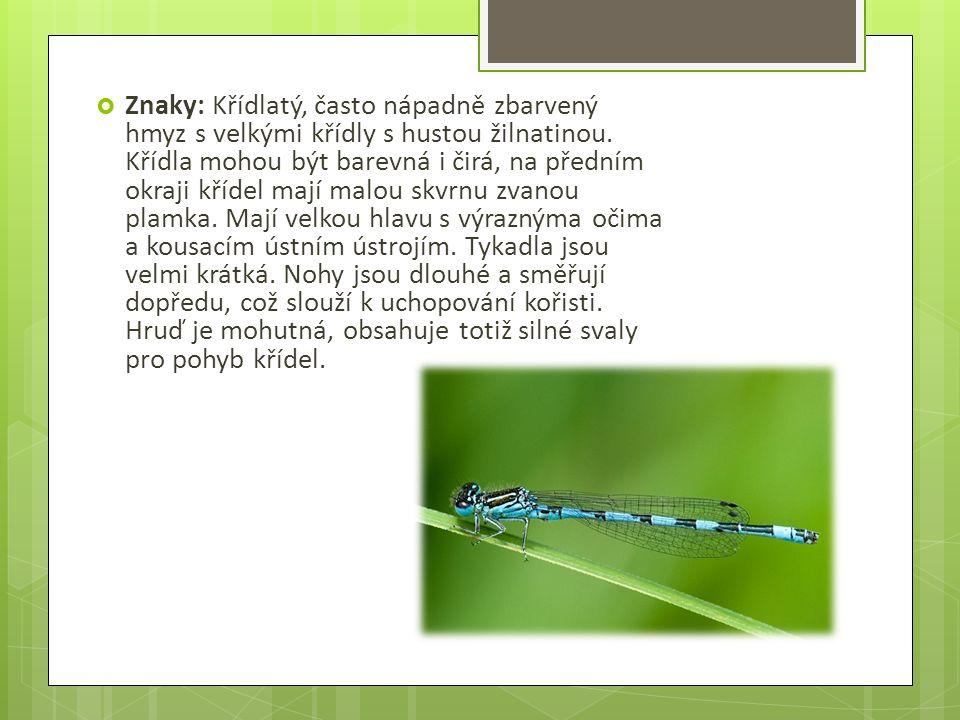  Dělí se na dvě velké skupiny : 1) motýlice - Mají širokou hlavu s očima daleko od sebe.