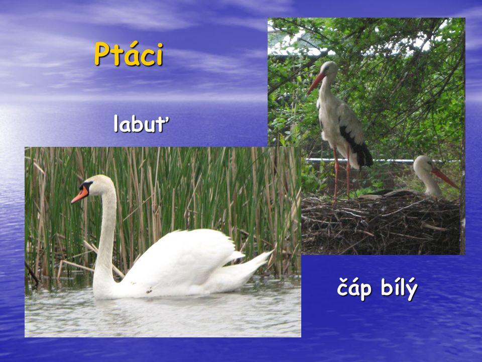 Ptáci čáp bílý labuť