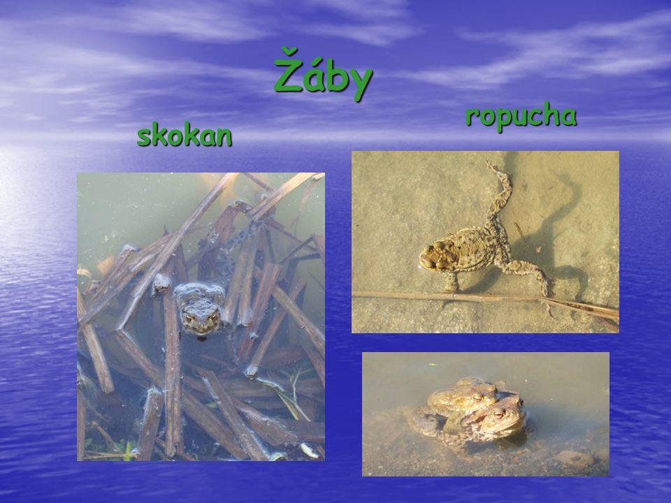 Žáby skokan ropucha ropucha