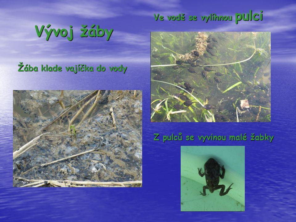Vývoj žáby Žába klade vajíčka do vody Ve vodě se vylíhnou pulci Z pulců se vyvinou malé žabky