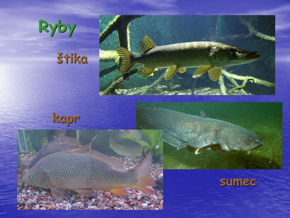 Ryby štika štikakapr sumec sumec