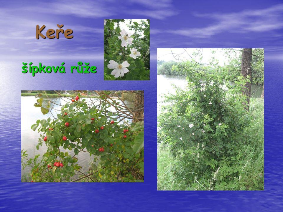 Keře šípková růže