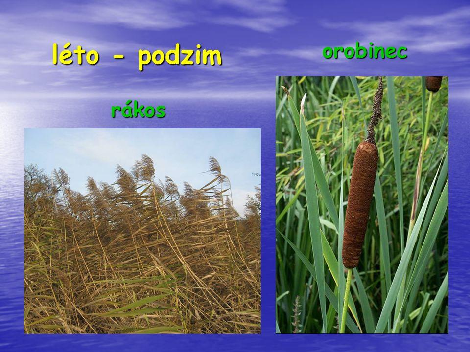 léto - podzim léto - podzim rákos rákos orobinec orobinec