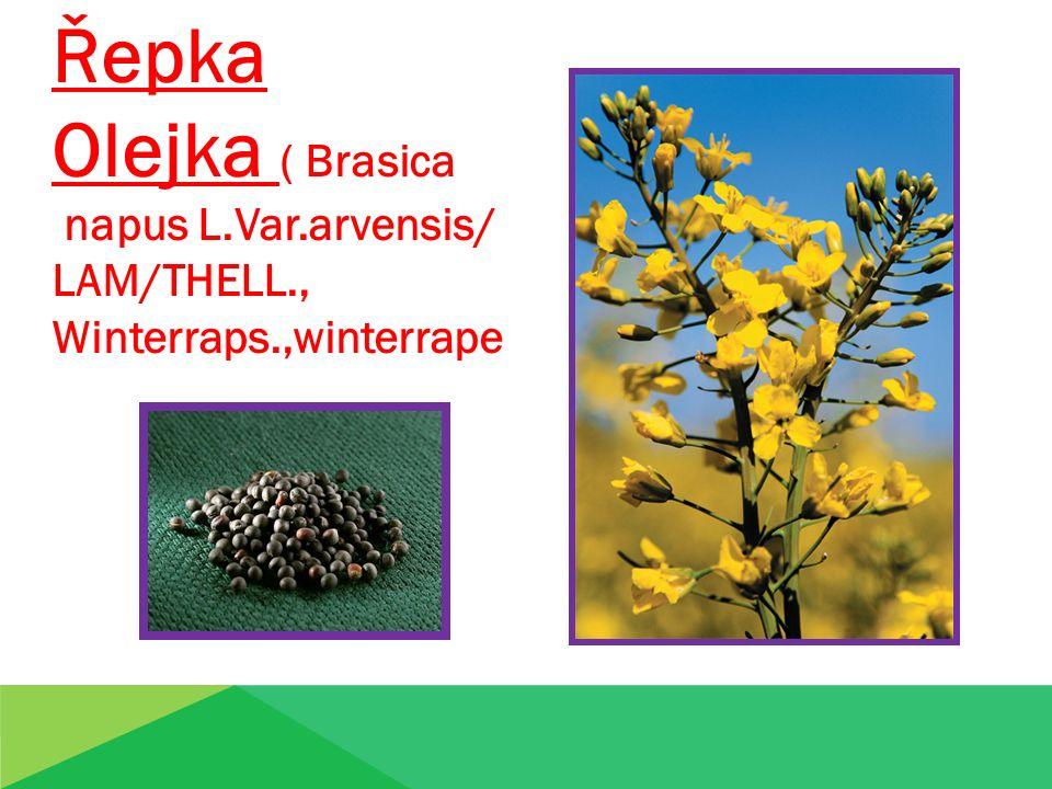 Řepka Olejka ( Brasica napus L.Var.arvensis/ LAM/THELL., Winterraps.,winterrape