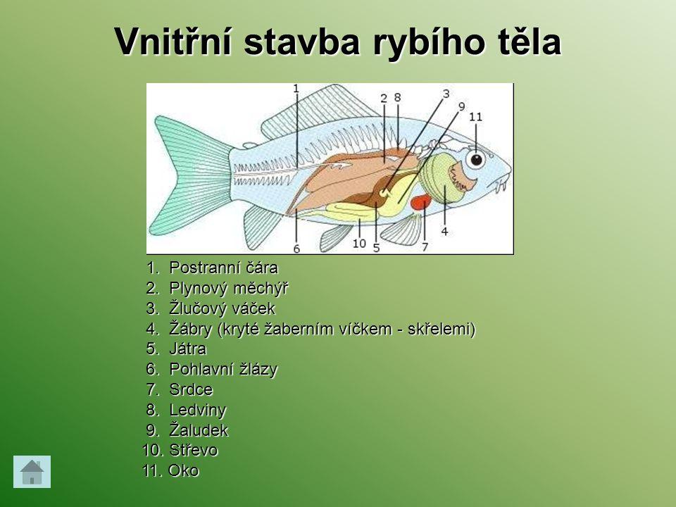 Vnitřní stavba rybího těla 1. Postranní čára 1. Postranní čára 2. Plynový měchýř 2. Plynový měchýř 3. Žlučový váček 3. Žlučový váček 4. Žábry (kryté ž