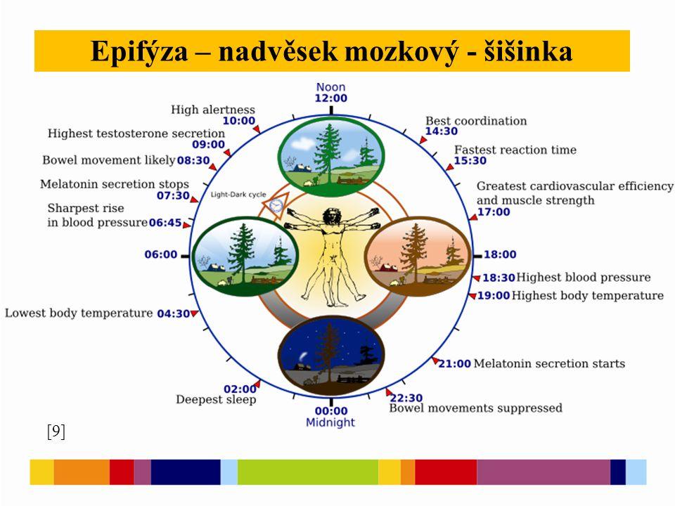[9] Epifýza – nadvěsek mozkový - šišinka