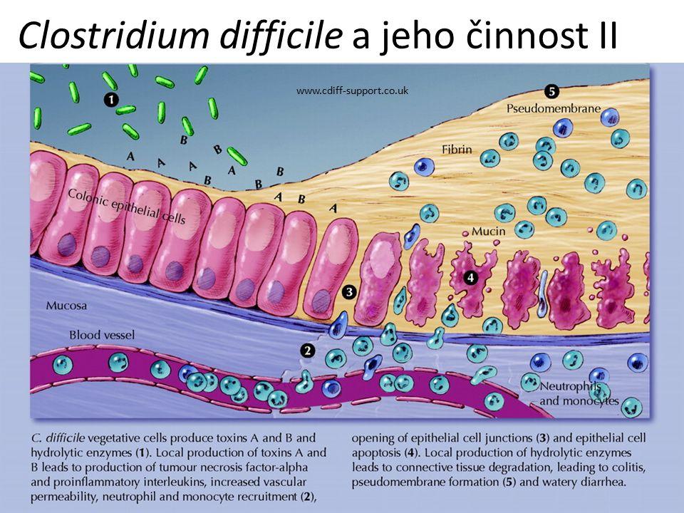 Clostridium difficile a jeho činnost II