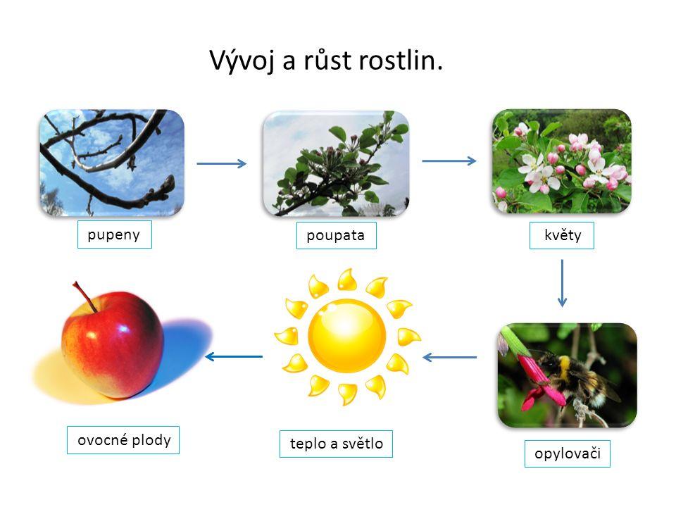 Vývoj a růst rostlin. pupeny poupata květy opylovači teplo a světlo ovocné plody