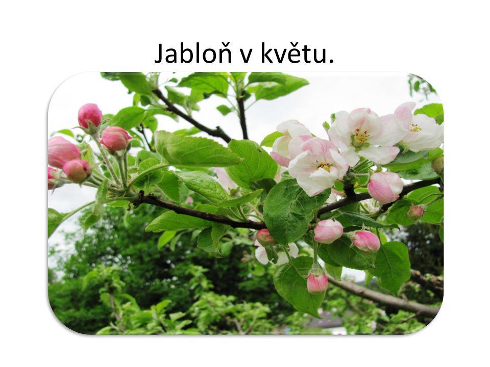 Jabloň v květu.